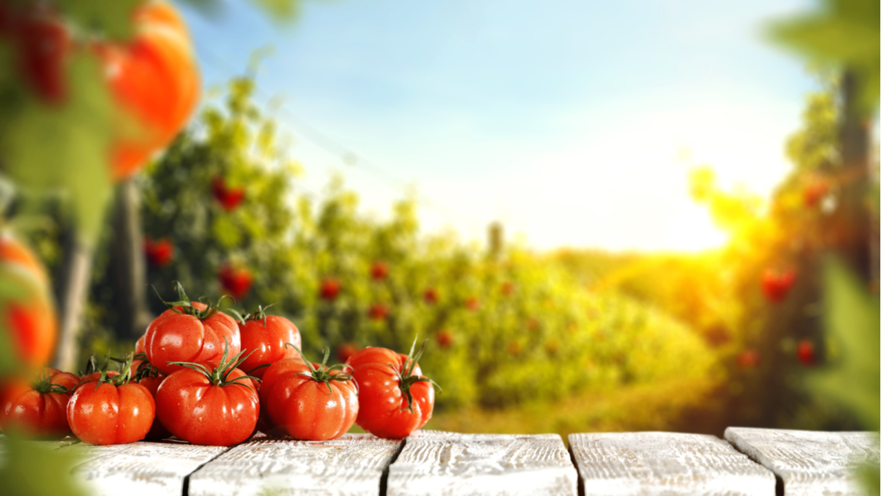 conjuntos de tomates en el bosque