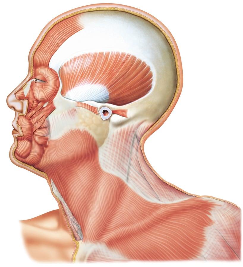 cuerpo humano por dentro de perfil